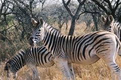 zebras-cropped