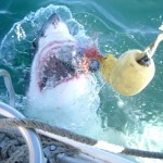 In Search of JAWS – Shark Cage Diving South Africa