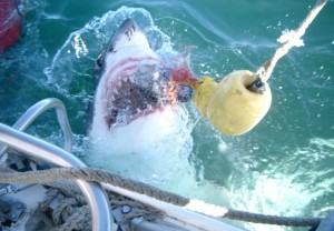 Great white shark attacks tuna during shark cage diving South Africa