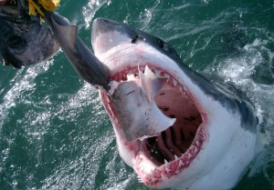Shark attacks tuna during shark cage diving South Africa